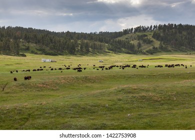 A large herd of wild bison or buffalo grazing on the spring prairie grass with people in vehicles stopped to watch them and a dark storm in the distance.
