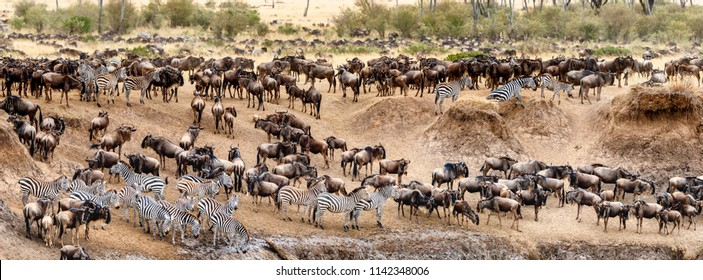 Large herds of wildebeest and zebra on the banks of the Mara River in Kenya Africa during migration season