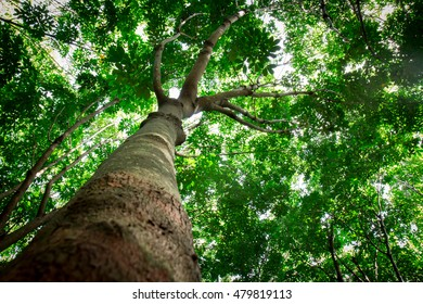 Large, high,tree,Tall tree in a forest.
