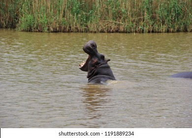 Large hippopotamus half submerged swimming in river water yawning with open jaws showing teeth, South Africa