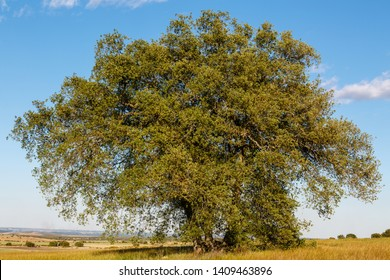 Large holm oak in spring. Quercus ilex.