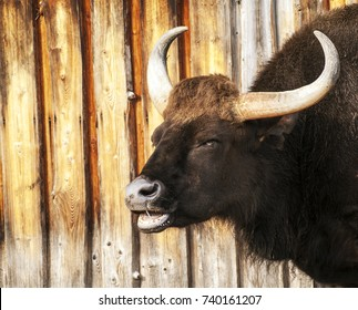A large horned dirty dark bull opens its drooling mouth against the background of a wooden wall.  Zoo in Tallinn, Estonia. Place for your text in news social media. Warm colors. the mouth is open