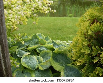 Large hosta leaves in landscape garden design. Sunny light water drops after rain. Green gras lawn and thuja bush. Decorative foliage in naturalistic English gardening, lonely lake and nobody