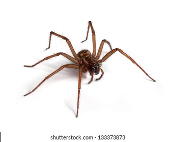 Large house spider (Tegenaria atrica)