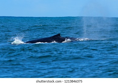 Large humpback whale blows water into spray as it surfaces in Nelson Mandela bay in high seas