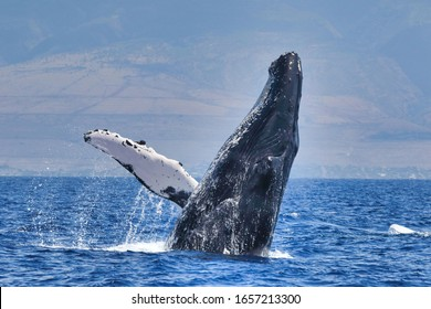 Large humpback whale breaching in the ocean near Lahaina on Maui
