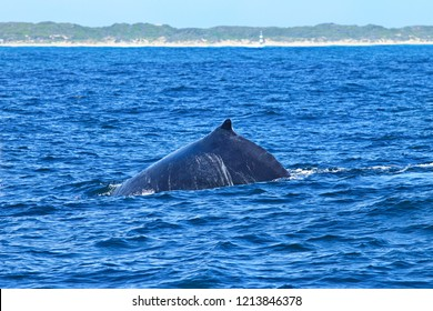 A large Humpback whale surfacing and taking air in Nelson Mandela bay in a high swell