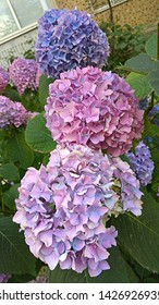 Large hydrangea globular inflorescences of lilac-pink flowers on the green foliage. Spherical clusters densely covered with small purple-pink flowers. Floral magic of beautiful pink-blue colors mixing