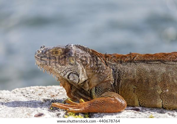 Large iguana enjoying the sun in Miami, USA