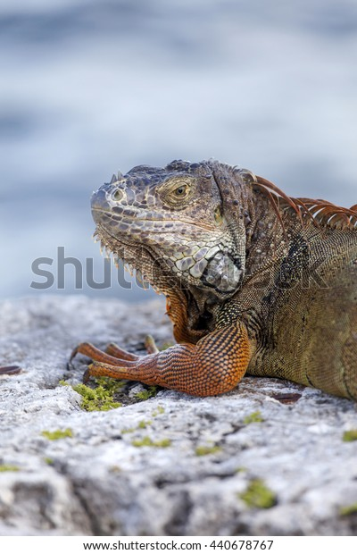 Large iguana enjoying the sun in Miami, USA