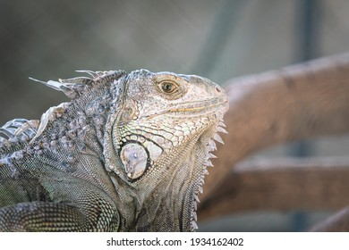A large iguana in gray color skin during stay on the tree's branch, Animal portrait photo, eye selective focus.
