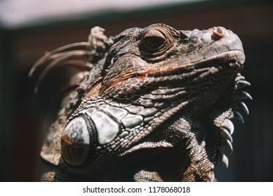 Large iguana lizard closeup