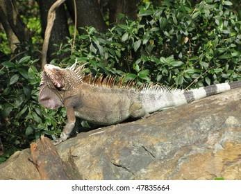 Large Iguana on Rock