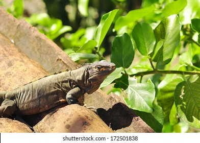 Large iguana on rocks in Costa Rica