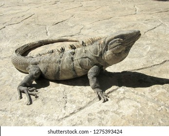 large Iguana on a stone surface in the sun