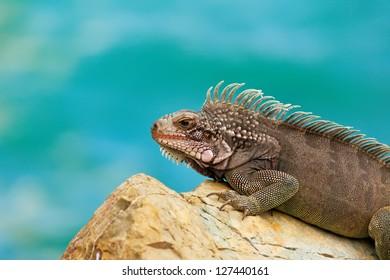 Large iguana resting on rock in St. Thomas, USVI