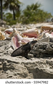 A large iguana stands tall while guarding his conchs on a tiny Bahamian island.