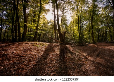 large imposing beech with broken trunk in the sunlight of the autumn sun