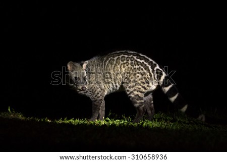 Image of: Wildlife Large Indian Civet Male Nocturnal Animals Royal Kruger Lodge Large Indian Civet Male Nocturnal Animals Stock Photo edit Now