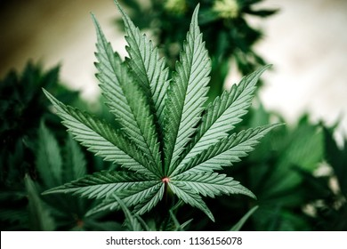 large indica plant sativa canabis beautiful background of the theme of legalization and medical hemp in the world