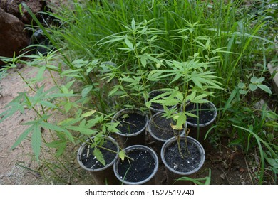 Large Indoor Marijuana Commercial Growing Operation With Fans, Greenhouse, Equipment For Growing High Quality Herb. Cannabis Field Growing For Legal Recreational Use