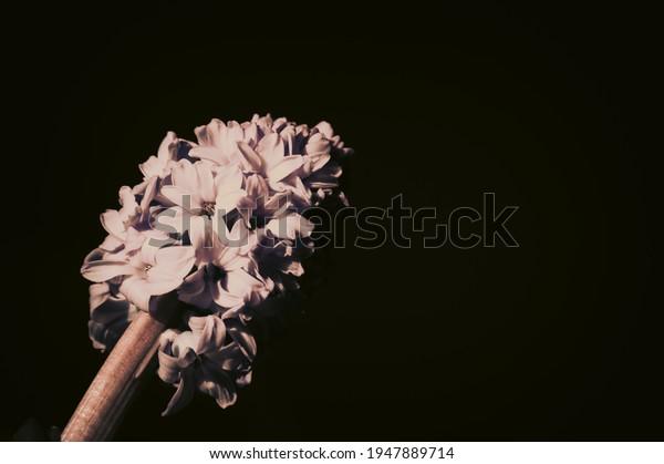 large-inflorescence-light-lilac-hyacinth