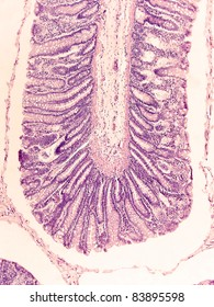 Large intestine, cat, showing villi, goblet cells, and other significant structures.  Magnification 100X