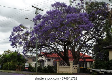 Large jacaranda tree in Brisbane