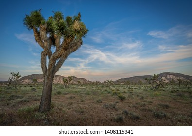 Large Joshua Tree and Ryan Mountain in Joshua Tree National park in California