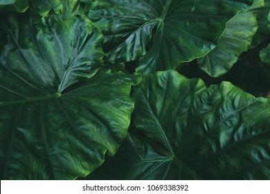 large jungel rainforest foliage texture background,dark green of tropical palm leaf