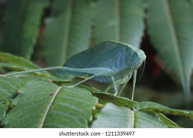 Large Katydid on a Leaf