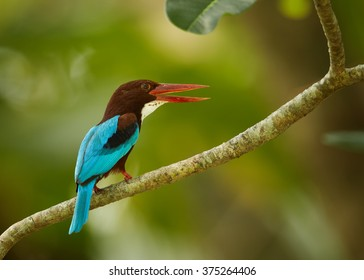 Large kingfisher with bright blue back, chestnut head and a large red bill,  White-breasted Kingfisher, Halcyon smyrnensis with opened beak, perched on branch  against green blurred background.