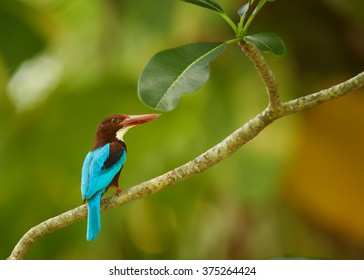 Large kingfisher with bright blue back, chestnut head and a large red bill,  White-breasted Kingfisher, Halcyon smyrnensis perched on diagonal branch against green blurred background. Sri lanka.