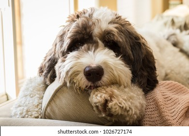 A large labradoodle puppy laying on the back of the couch.