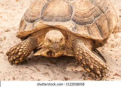 A large land tortoise is walking along the sand