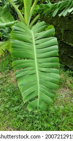 The large leaves of each tree  There are patterns and different according to the species of the tree.