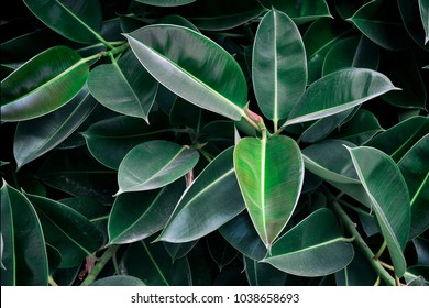 large leaves of ficus. background of leaves of ficus.