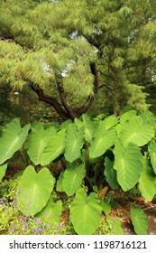 Large leaves growing in a park. Summer season.