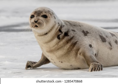 A large light colored adult harp seal stands on its front flippers on an ice pan.The dark eyed animal has wrinkles in its fur coat. It has large flippers with claws. Its coat has dark spots on its fur