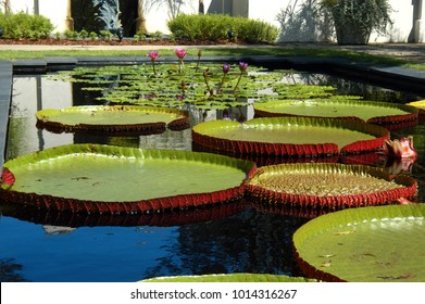 Large lilly pads and water lillies thrive in the Birmingham Botanical Gardens in Birmingham, Alabama.
