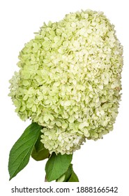 Large lime green flower head of the hydrangea or hortensia (hydrangia paniculata 'limelight') on a stem. Isolated on a white background.