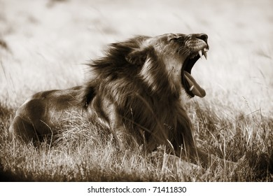 A large lion yawns. Toned image.