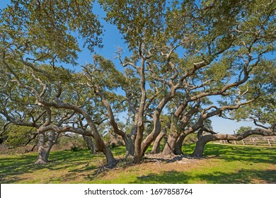 Large Live Oak Cluster on the Coast in Goose Island State Park in Texas