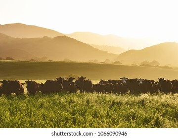 large livestock of cows in a long grass meadow field during sunset against layers of different height mountains in the background. Summertime.