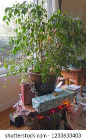 A large, living, bushy houseplant decorated with Christmas lights and surrounded by presents creatively replaces a traditional Christmas tree