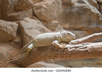 Large lizard on a branch.