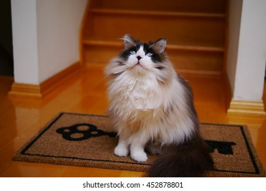 Large Long Haired Bi Color Brown White Ragdoll Cat with Blue Eyes and Black Button Nose Sitting on Door Mat Looking Upwards