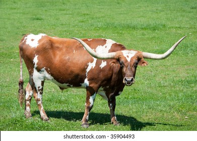 A large longhorn bull in a green field