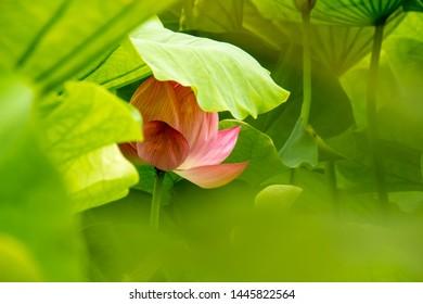 Large lotus flower that blooms in summer