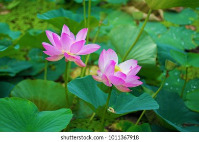 Lotus bud images stock photos vectors shutterstock large lotus flowers bright pink buds of lotus flower floating in the lake mightylinksfo